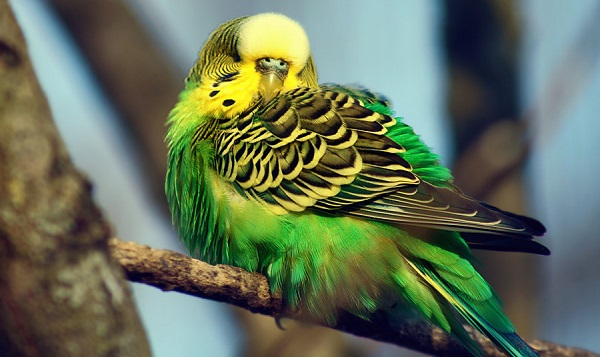 Budgerigar, Budgerigars pictures and photo, Budgerigar show video